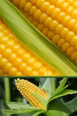 Кукуруза Краснодарский сахарный 250 СВ