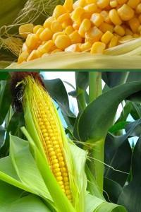 Кукуруза Сахарная Юнион F1