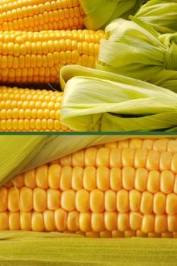 Кукуруза Сахарная Золотая Гроздь