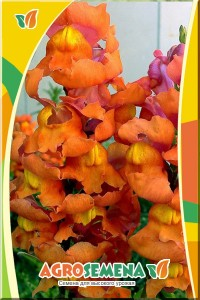 Львиный зев Оранжевое чудо