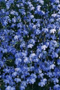 Лобелия голубая Каскад