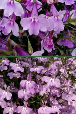 Лобелия Каскад лиловый