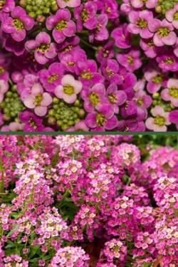 Лобулярия морская Розовый ковер