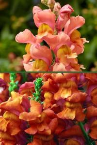 Львиный зев Абрикосово-оранжевый