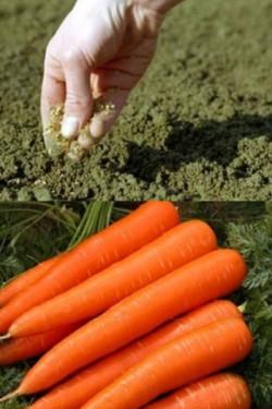 Морковь Чаровница 1г
