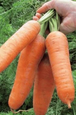 Морковь Данверс
