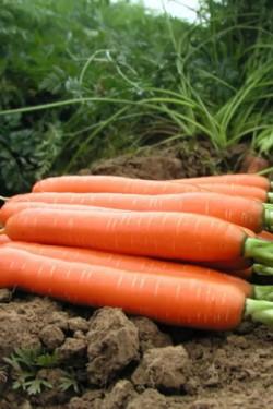 Морковь Намур F1
