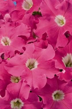 Петуния ампельная крупноцветковая Лавина розовая F1