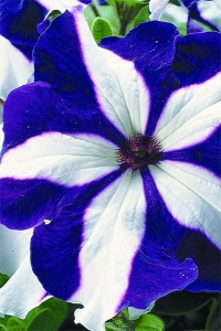 Петуния ампельная крупноцветковая Лавина синяя звезда