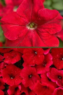 Петуния крупноцветковая красная