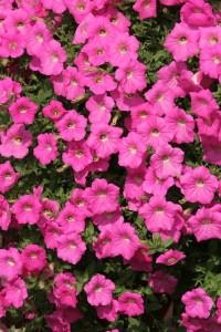 Петуния гибрид Каскад розовый F1