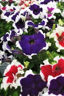 Петуния гибрид Крупноцветковая Цветочный хоровод