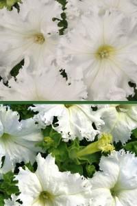 Петуния крупноцветковая бахромчатая Афродита белая F1