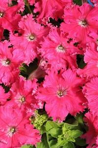 Петуния крупноцветковая бахромчатая Афродита розовая F1