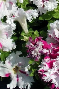 Петуния крупноцветковая бахромчатая Поздравь из Яромнержа