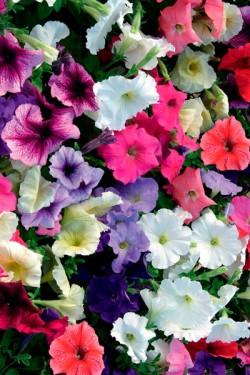 Петуния многоцветная Цветочный караван