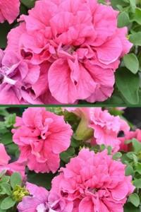 Петуния Дуо Розовая F1 многоцветковая