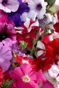 Петуния Палитра крупноцветковая смесь