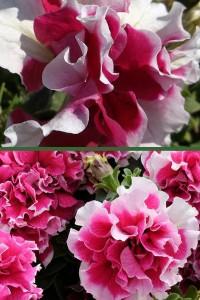 Петуния махровая Пируэт розовый F1