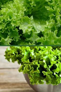 Салат Бионда Триест листовой