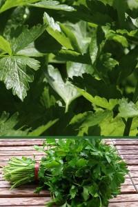 Сельдерей Джемни листовой