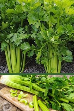 Сельдерей Нежный листовой