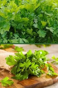 Сельдерей Обыкновенный листовой