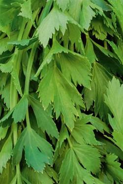 Сельдерей Парус листовой