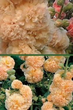Шток-роза Бежевая