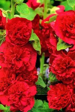 Шток-роза Красная