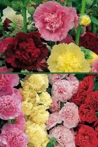 Шток-роза Махровая