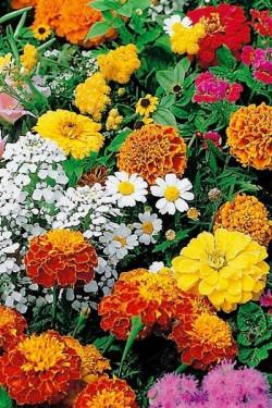 Смесь однолетних цветов