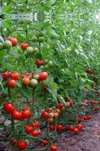 сорта помидор халай ф1