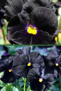 Виола Чистые кристалы черные