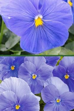 Виола крупноцветковая Голубая