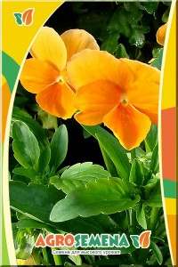 Виола Оранжевая