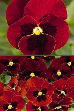 Виола крупноцветковая Рубиновая