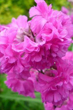 Вискария обыкновенная Розово-красная