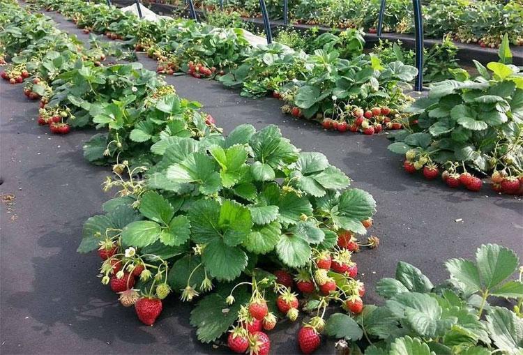 Агротнань на посевах клубники